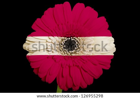 gerbera daisy flower in colors national flag of latvia on black background as concept and symbol of love, beauty, innocence, and positive emotions