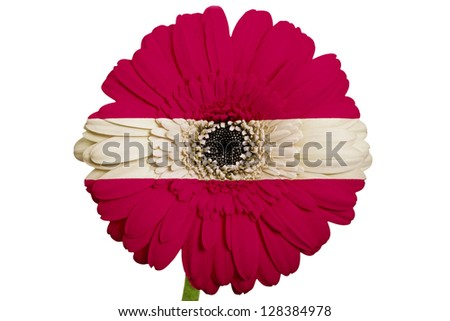 gerbera daisy flower in colors national flag of latvia on white background as concept and symbol of love, beauty, innocence, and positive emotions