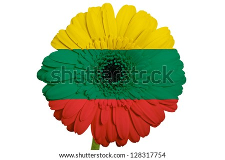 gerbera daisy flower in colors national flag of lithuania on white background as concept and symbol of love, beauty, innocence, and positive emotions - stock photo