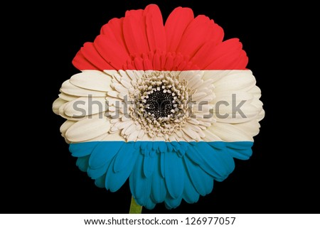 gerbera daisy flower in colors national flag of netherlands on black background as concept and symbol of love, beauty, innocence, and positive emotions
