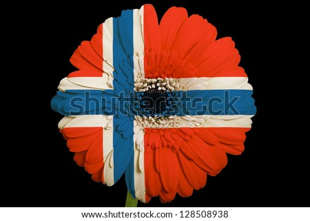 gerbera daisy flower in colors national flag of norway on black background as concept and symbol of love, beauty, innocence, and positive emotions - stock photo