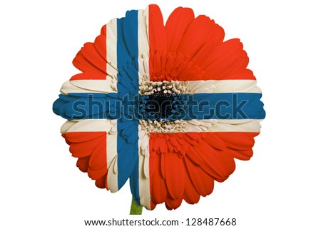 gerbera daisy flower in colors national flag of norway on white background as concept and symbol of love, beauty, innocence, and positive emotions - stock photo