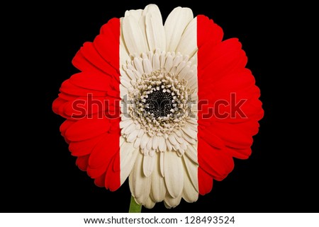 gerbera daisy flower in colors national flag of peru on black background as concept and symbol of love, beauty, innocence, and positive emotions - stock photo