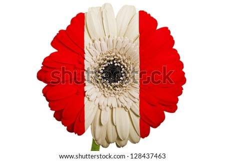 gerbera daisy flower in colors national flag of peru on white background as concept and symbol of love, beauty, innocence, and positive emotions