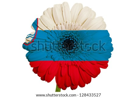gerbera daisy flower in colors national flag of slovenia on white background as concept and symbol of love, beauty, innocence, and positive emotions