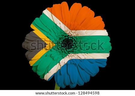 gerbera daisy flower in colors national flag of south africa on black background as concept and symbol of love, beauty, innocence, and positive emotions - stock photo
