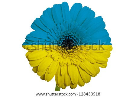gerbera daisy flower in colors national flag of ukraine on white background as concept and symbol of love, beauty, innocence, and positive emotions - stock photo
