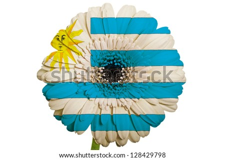 gerbera daisy flower in colors national flag of uruguay on white background as concept and symbol of love, beauty, innocence, and positive emotions - stock photo