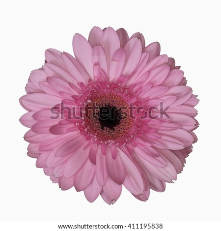 Gerbera flower (Asteraceae) - hybrid. Isolated.