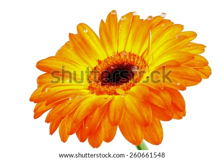 Gerbera flower closeup on a white background with dew drops - stock photo