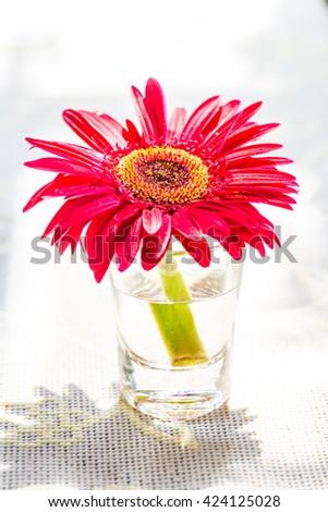 Gerbera flower in glass, Thailand - stock photo