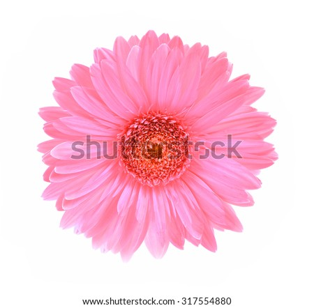 Gerbera flower isolated white background