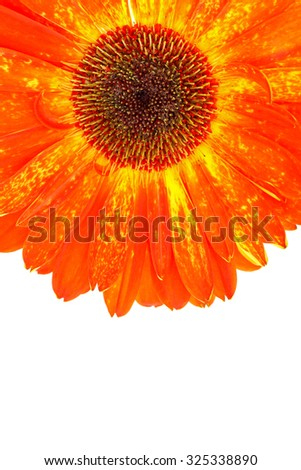 Gerbera flower on pure white background.
