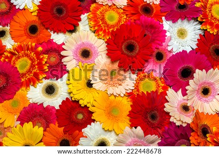 Gerbera flower rainbow background - stock photo