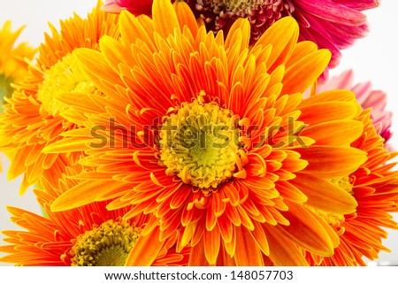 Gerbera flowers close up