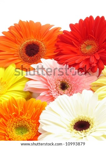 Gerbera flowers isolated on white. - stock photo