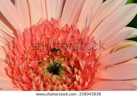 Gerbera flowers that are beautiful, vibrant colors, white, red, yellow, orange, pink, magenta color.