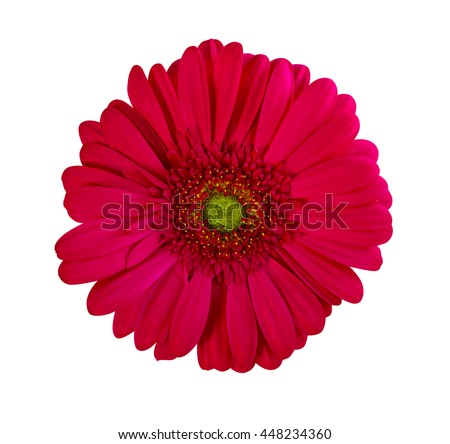 gerbera. gerbera flowers. Perfect Red Gerbera Flower Closeup Isolated on White Background - stock photo