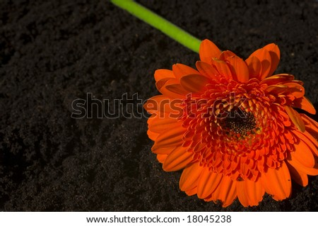 gerbera in mud