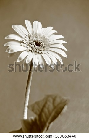 Gerbera is Monochrome Sepia filters close up