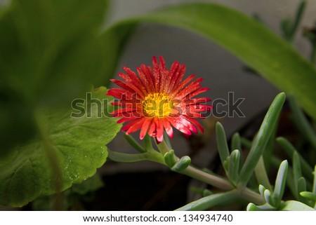 Gerbera jamesonii H. Bolus - stock photo