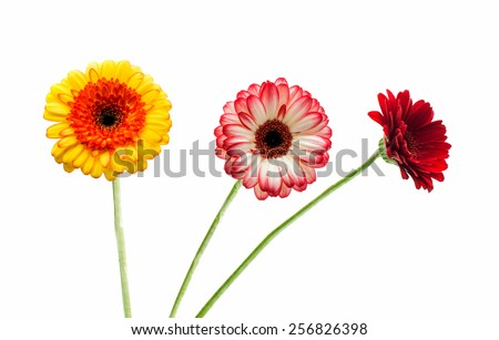 gerbera on a white background - stock photo