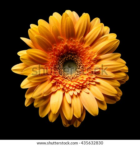 gerbera on black background - stock photo