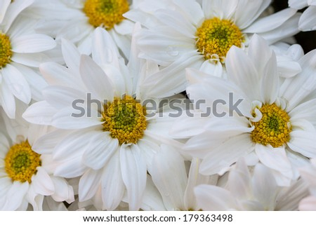 Gerbera seamless pattern floral background, Bouquet of multicolored gerberas. Floral pattern - stock photo