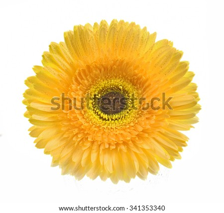 Gerbera yellow flower on white background