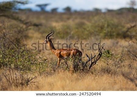 Gerenuk gazelle in the beautiful landscape of Samburu National Reserve, Kenya - stock photo