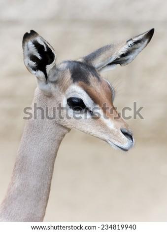 Gerenuk Gazelle portrait - stock photo