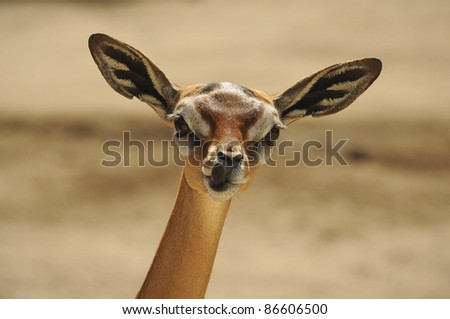 Gerenuk (Litocranius walleri)  female portrait