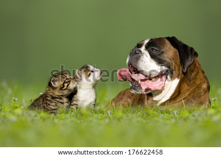 German boxer dog lying in meadow with two little kittens - stock photo
