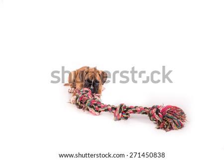 German boxer puppy - stock photo