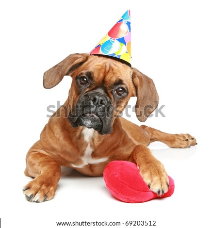 German Boxer puppy in party cap with red heart lying on white background