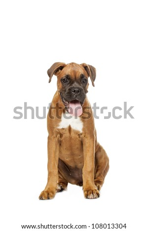German Boxer puppy (5 month) on a white background - stock photo