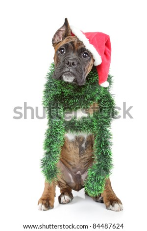 German Boxer waits for xmas holiday