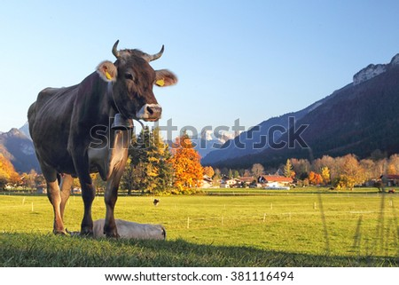 German brown cattle standing on a meadow in Pfronten, Allgäu, Bavaria, Germany.