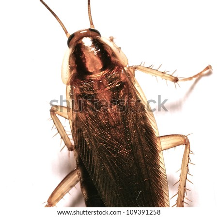 German Cockroach - stock photo