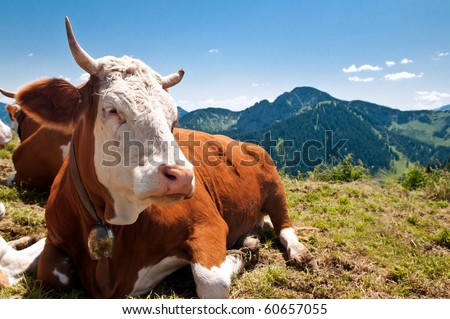 german cow resting on mountain alp - stock photo