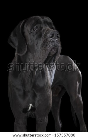 German dog on black background