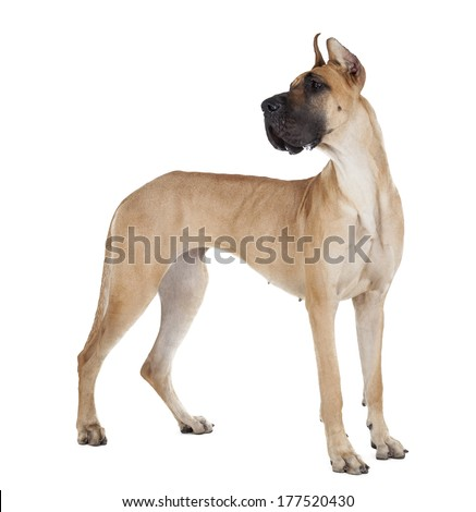 German dogge on a white background in studio - stock photo