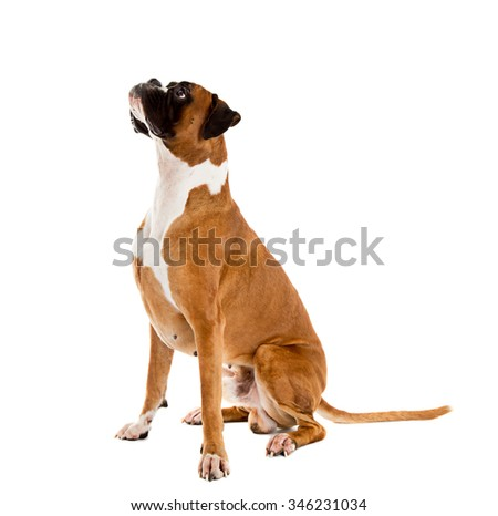 German Fawn-colored Boxer dog, pure breed on white background - stock photo