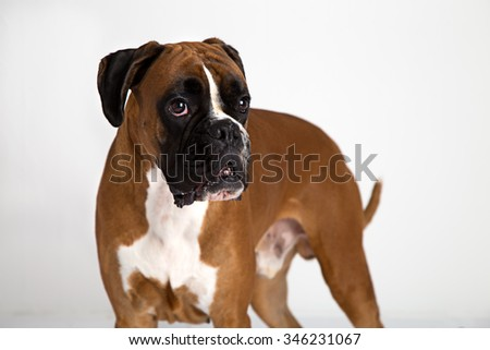German Fawn-colored Boxer dog, pure breed on white background