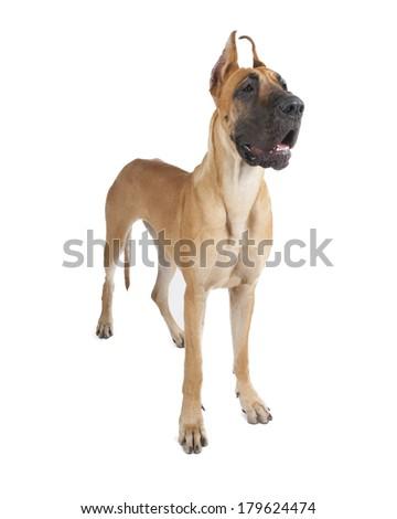 German fawn doggi on a white background in studio - stock photo