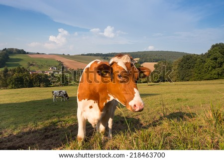 german Fleckvieh cow on a green meadow in the Odenwald, Germany - stock photo