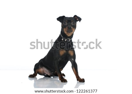 German pinscher dog