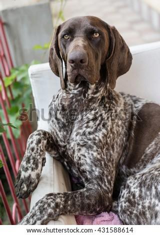 German pointer dog posing in garden - stock photo
