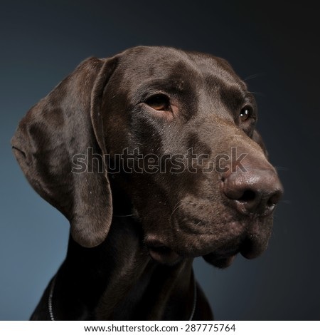 German pointer portrait in a dark photo studio