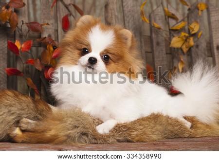 German (Pomeranian) Spitz dog - stock photo